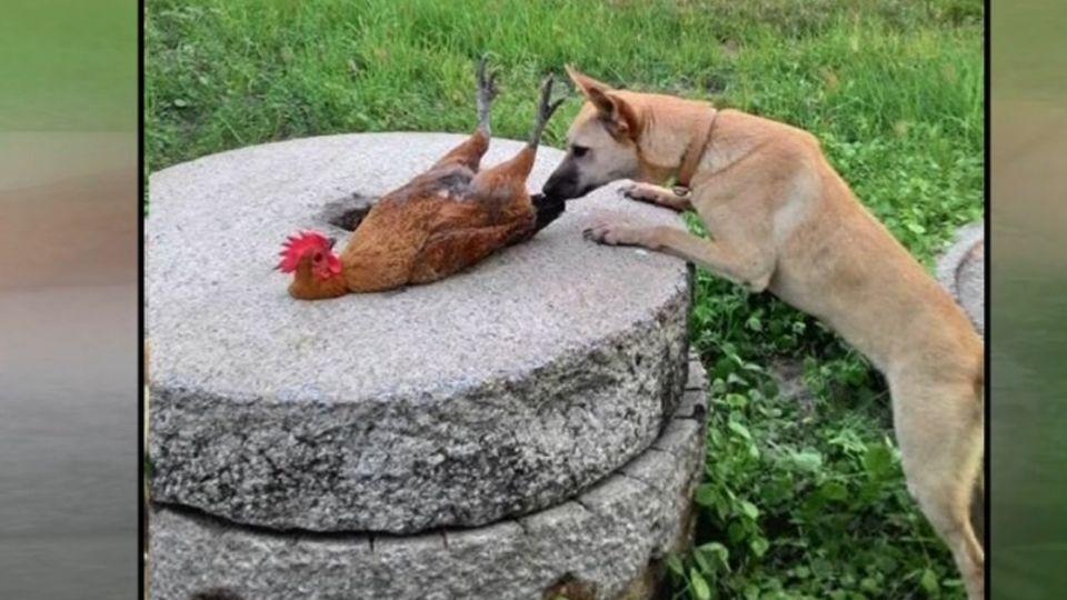 寵物雞被催眠 雙腳朝天頭頸僵直