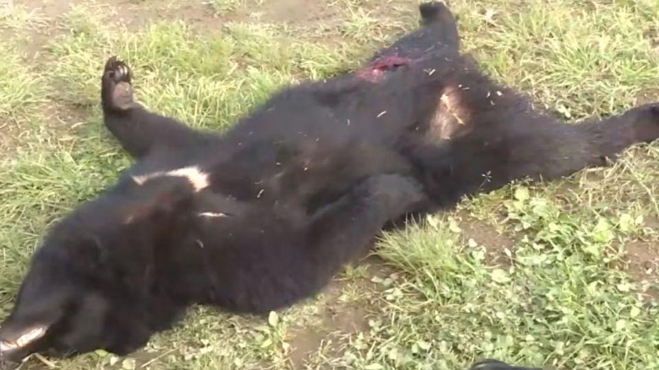 【影片】日秋田縣傳黑熊咬死人 1個月內已4起