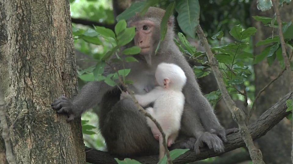 獼猴群驚見「白猴」現身 太顯眼 母猴抱緊護子