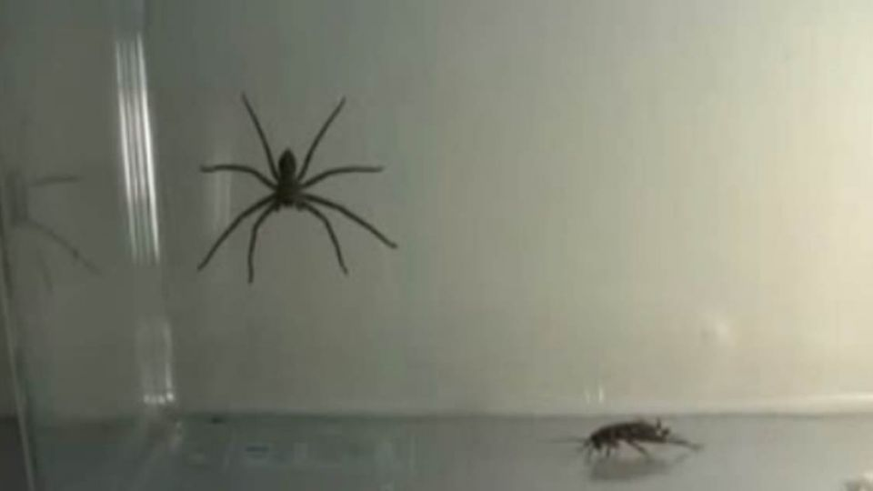 【影片】「喇牙尿」有毒?專家澄清:蟑螂殺手是無辜的