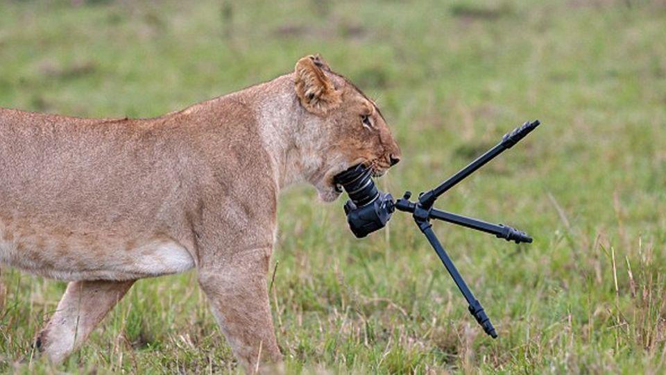 咦!有新玩具?肯亞獅好奇咬爛5萬鏡頭