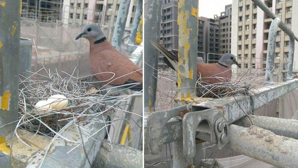 太神奇!斑鳩媽媽成鋼鐵鳥「綁鐵」築愛巢