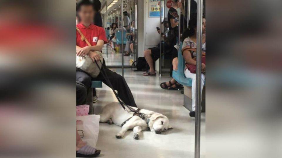說不出的累…一隻「趴下」的導盲犬 感動網友:辛苦了