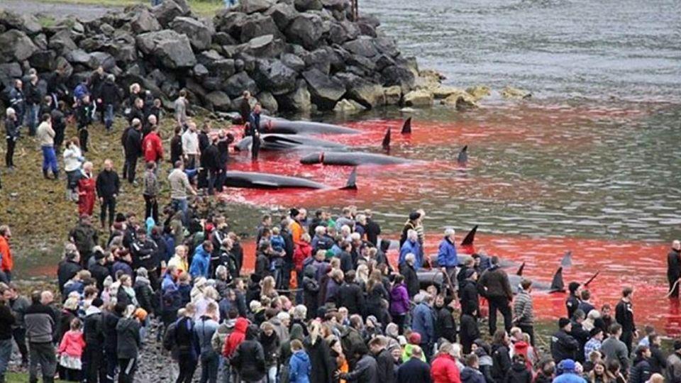 牠們不捨家人擱淺!人類卻為傳統 2小時內屠殺120頭鯨