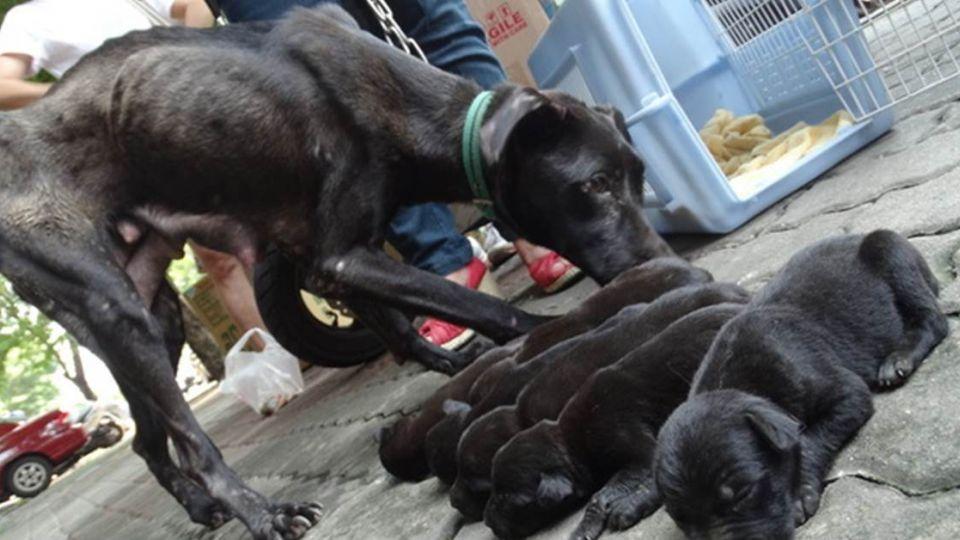 主人酗酒不餵食 瘦弱黑狗媽含悲哺育6幼犬