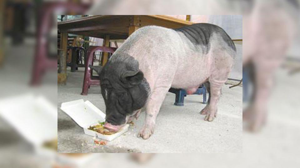 住宅大樓養百公斤麝香豬 鄰居抗議「臭味飄滿屋」