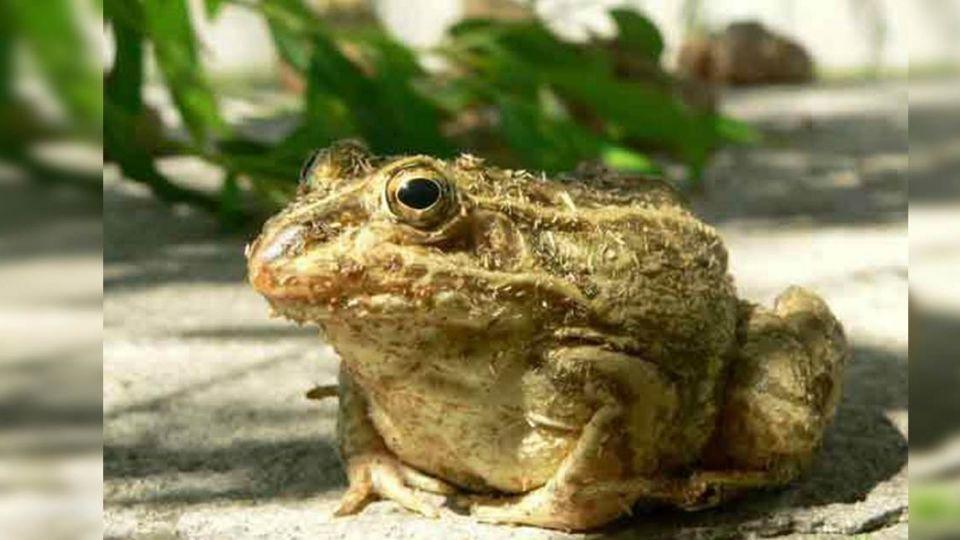 癩蛤蟆vs.青蛙傻傻分不輕!老翁邀吃烤蟾蜍 中毒釀2死