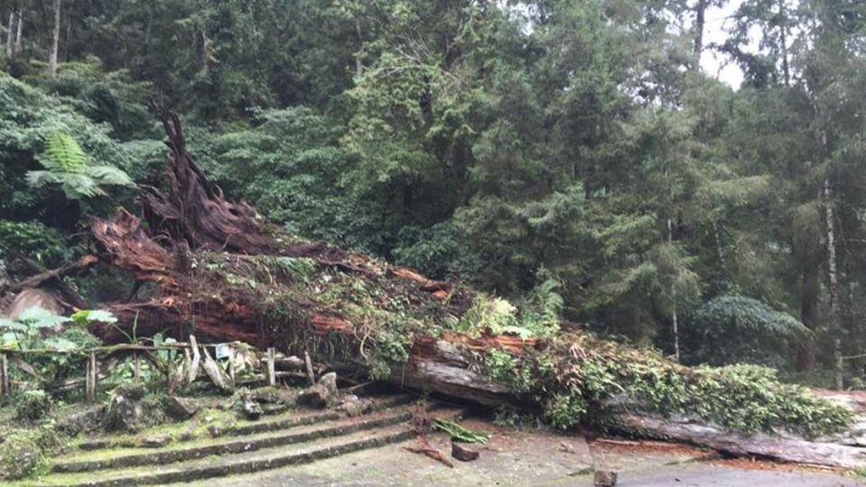 【影片】驚!溪頭千年紅檜神木倒塌 釀3人輕重傷