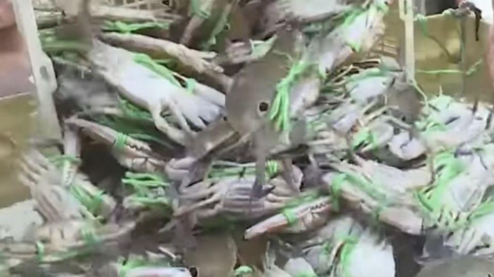 萬里蟹抱卵、太小不能抓!直擊漁市場