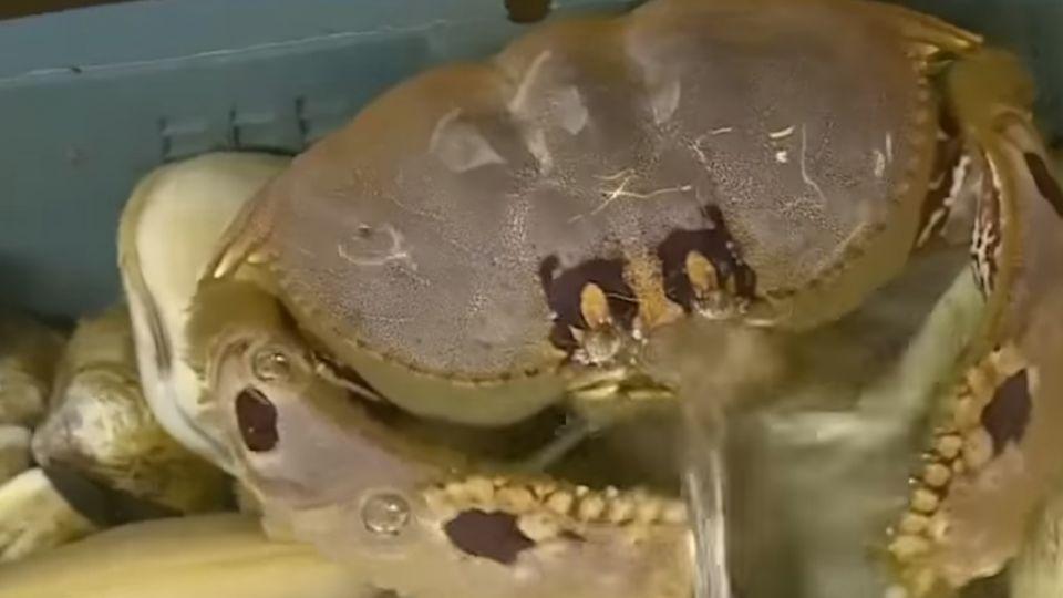 螃蟹產季到!花蟹、三點蟹、麵包蟹價差大
