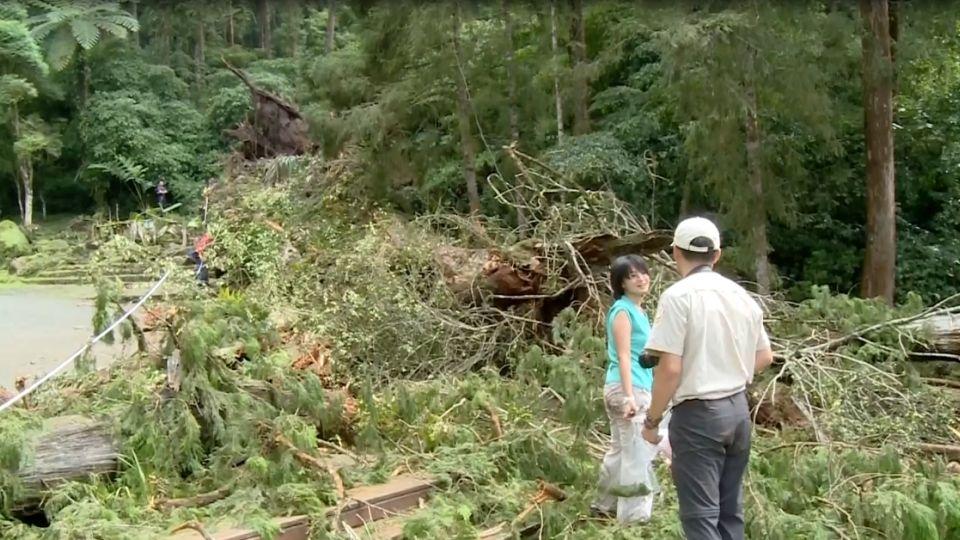 根部腐壞遇連日雨 2800歲紅檜神木倒壓傷3人