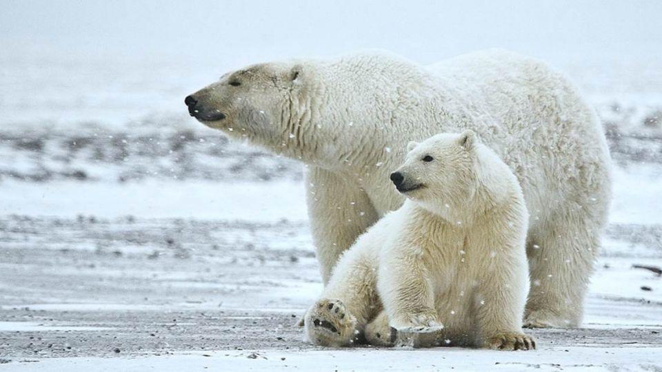 10隻飢餓北極熊殺狗圍堵觀測站 科學家嚇傻受困險遭吞