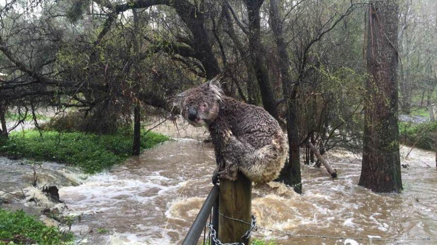 【影片】洪水侵襲!無尾熊家沒了 狼狽呆坐木樁上