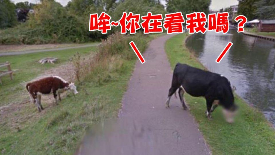 尊榮級服務!牛兒吃草也有隱私權 Google街景認真馬賽克