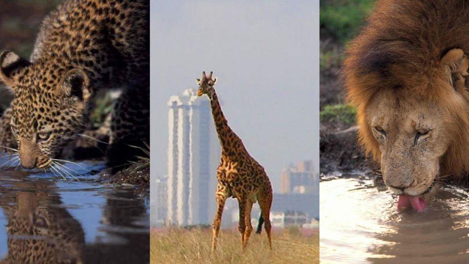 大陸建鐵路恐礙動物遷徙 肯亞民眾怒吼:這是我們的遺產