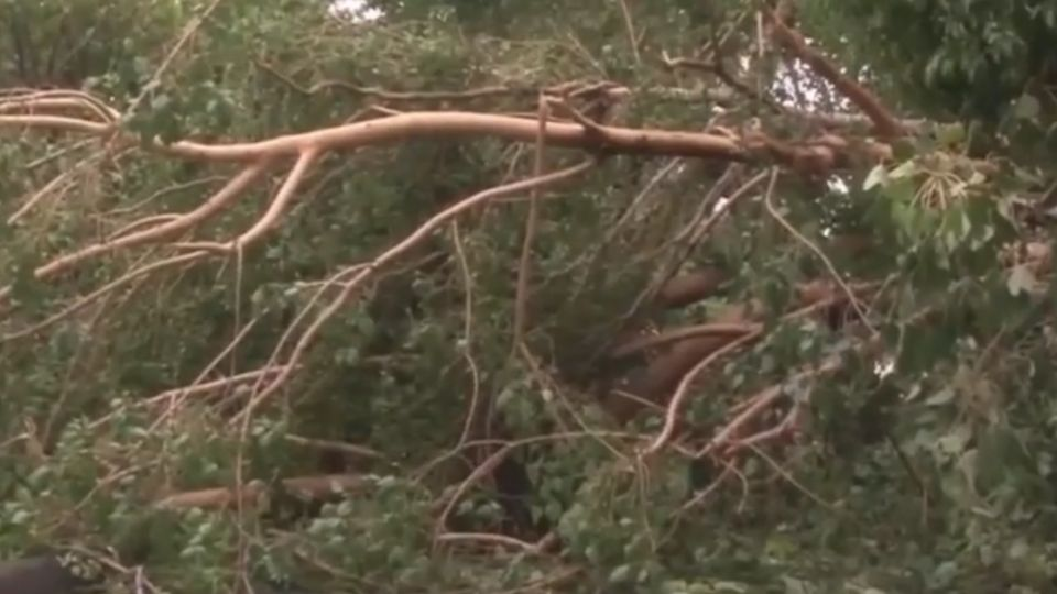 天災?人禍?高雄路樹遭吹倒  驚見樹根「包尿布」