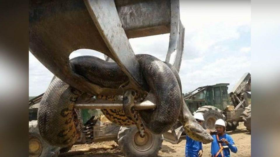 【影片】巴西工地驚見10公尺400公斤巨蟒!恐破金氏世界紀錄