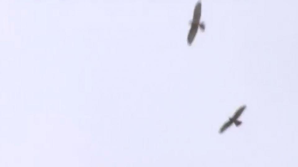 全球首例!衛星追蹤赤腹鷹「阿財」 遷徙路線全紀錄