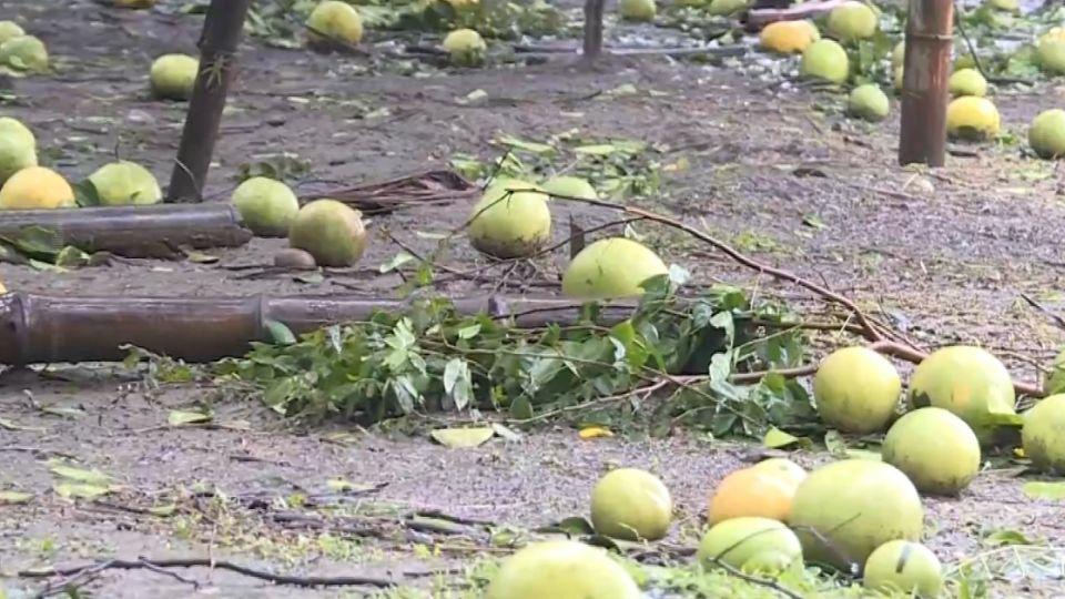 颱風吹光心血 水稻、芭樂、柚、柿 農損逾十億