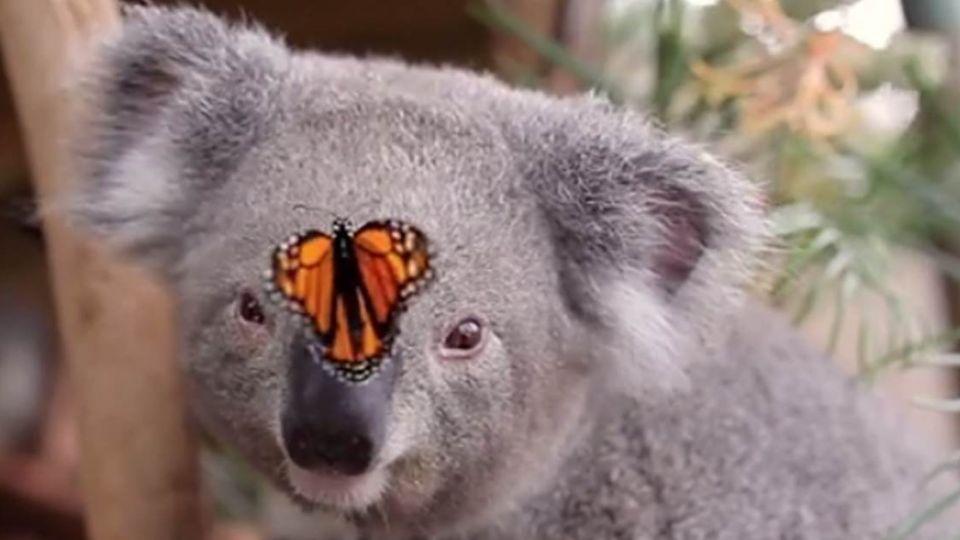 逗翻了!無尾熊「鬥雞眼」萌看鼻上「花蝴蝶」...怎麼抓不到啦