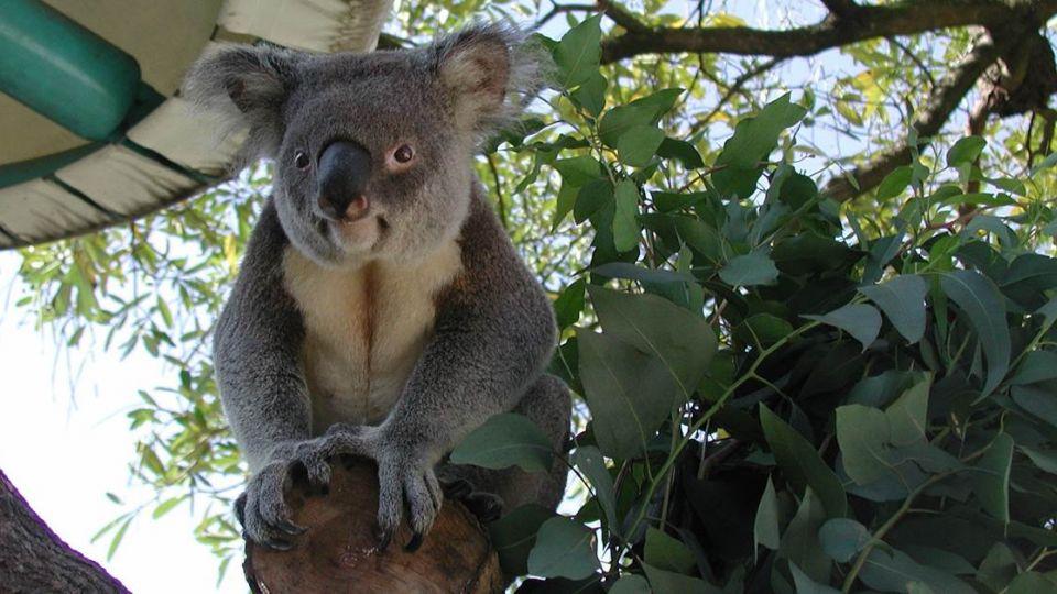 好難過!動物園首隻無尾熊離世 「派翠克」享年19歲