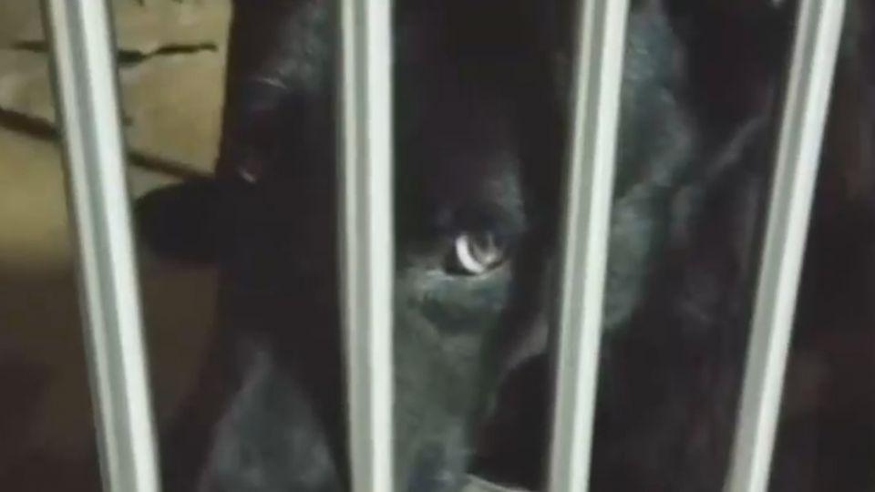 搜救犬回國被海關扣留!「恐被撲殺」網友急救援