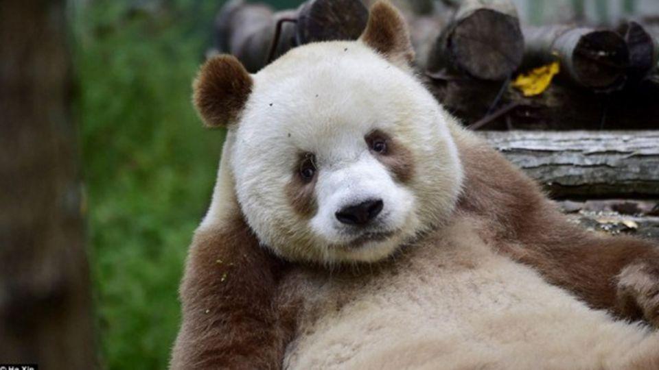 不是黑白照!棕色貓熊「七仔」長大了 明年娶妻盼解變色之謎