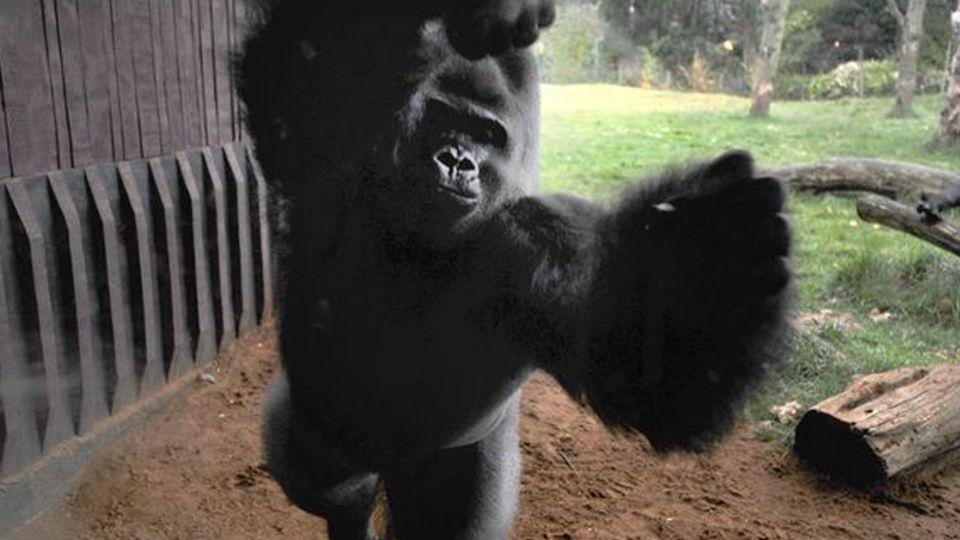 【影片】大猩猩傳脫逃!失控暴怒搥玻璃 遊客嚇壞驚聲叫