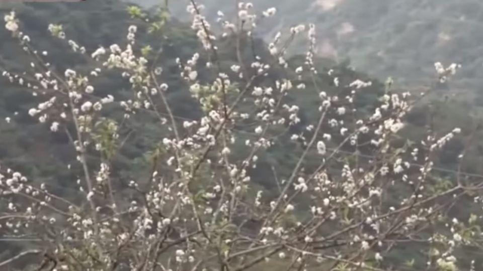 秋颱一個接一個 梅花李花山櫻花錯亂開