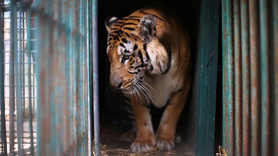 【端傳媒】逃離世上最糟糕的動物園:加沙動物大撤離