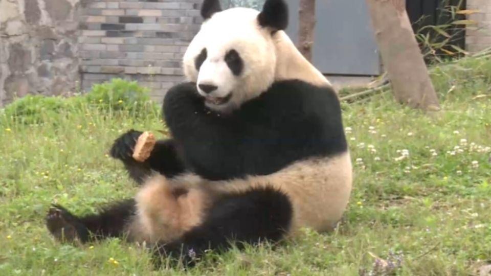 不要命!男翻越柵欄伸手摸貓熊 險命喪動物園