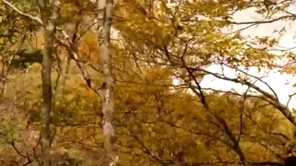 「金黃秘境」秋天限定 太平山山毛櫸步道超夢幻