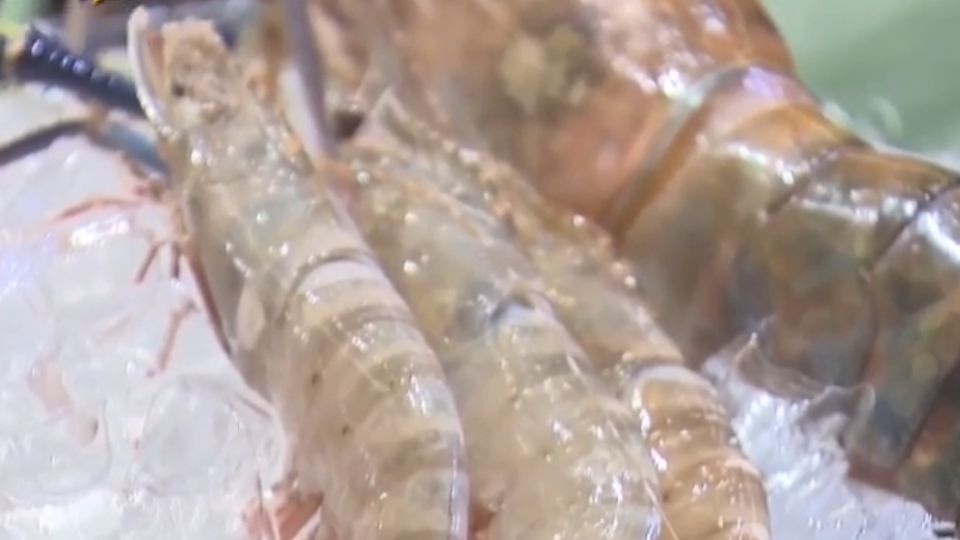 手臂長「斯里蘭卡蝦」 霸氣尺寸超級吸睛