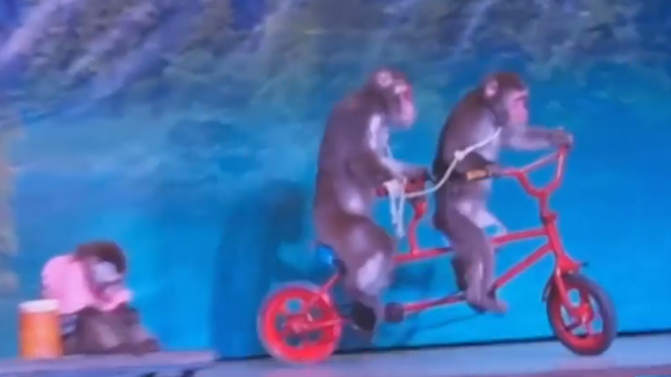 日猴子軍團滯台10年 全年無休演出獲利1.4億