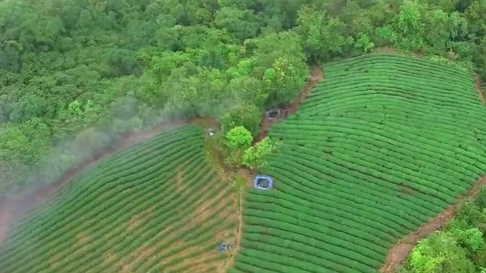 大陸電商來台契作 茶農進軍雙11戰場