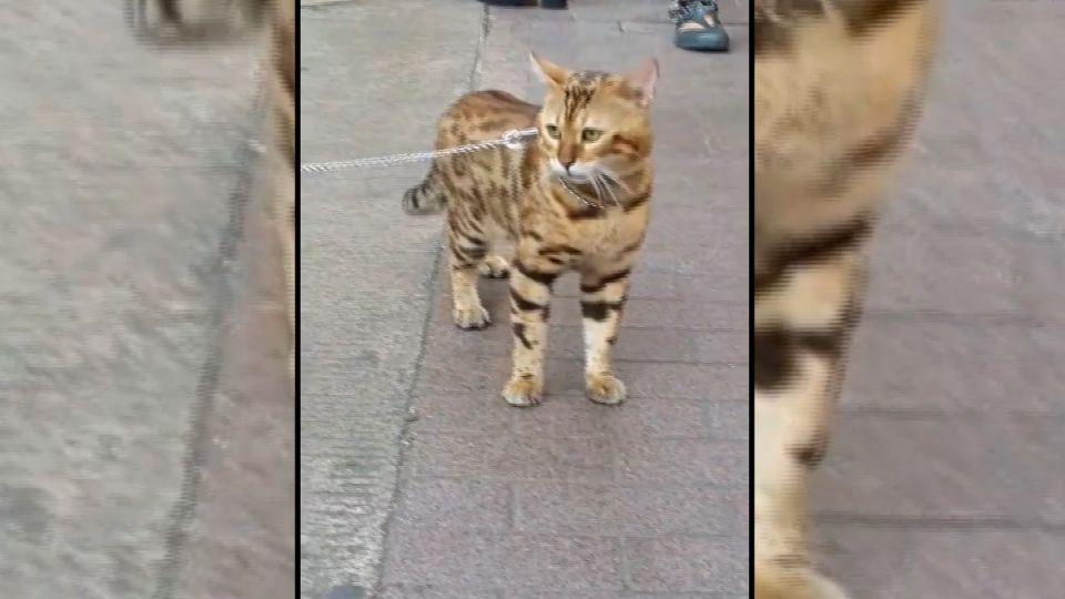 PO文檢舉「豹貓、石虎分不清」 網友大搞KUSO