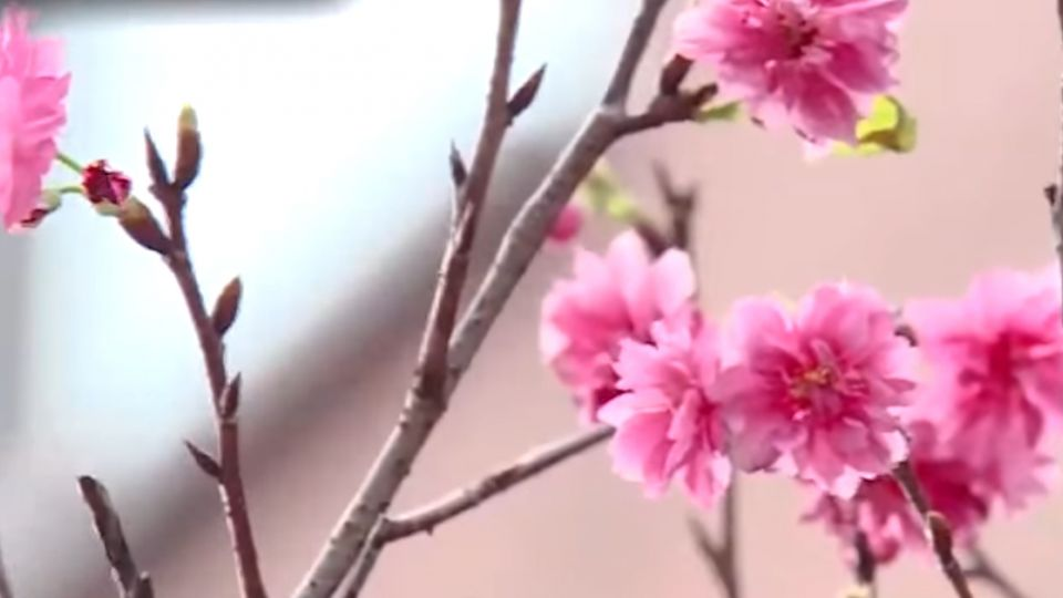 櫻花提前報到 全是因為天氣亂了套!