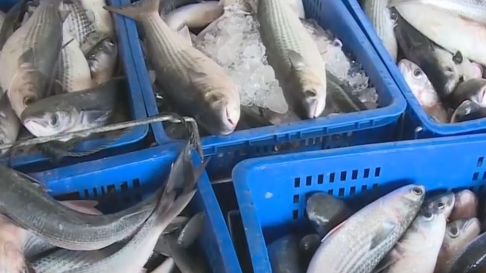 暖冬效應!烏魚結卵不佳、烏魚子產量恐減少