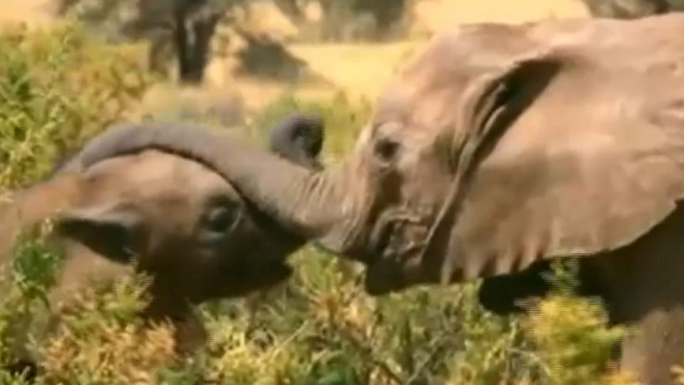 非洲「大象難民」生存兩難 荷超模任大使發聲