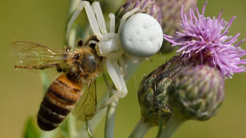 惹錯人!巨大狼蛛攻擊一隻蜜蜂 下一秒群蜂報仇攻擊致死