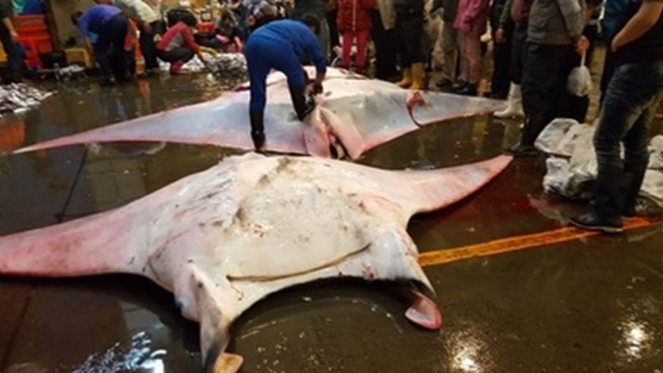 3千萬身價!世界瀕危「鬼蝠魟」台灣漁民一次宰兩隻