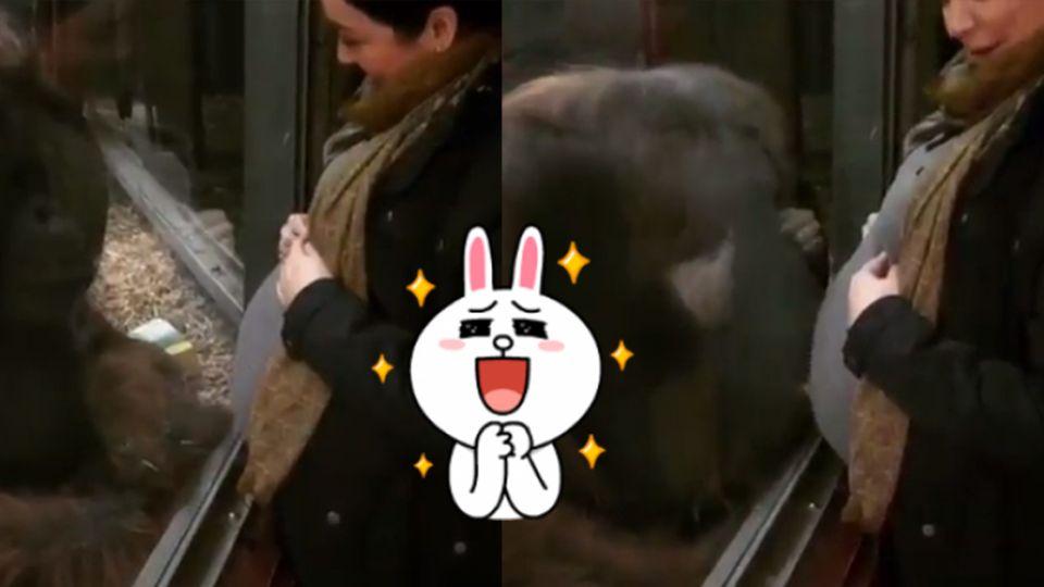 【影片】有愛!紅毛猩猩隔玻璃親吻孕肚 準媽媽感動落淚