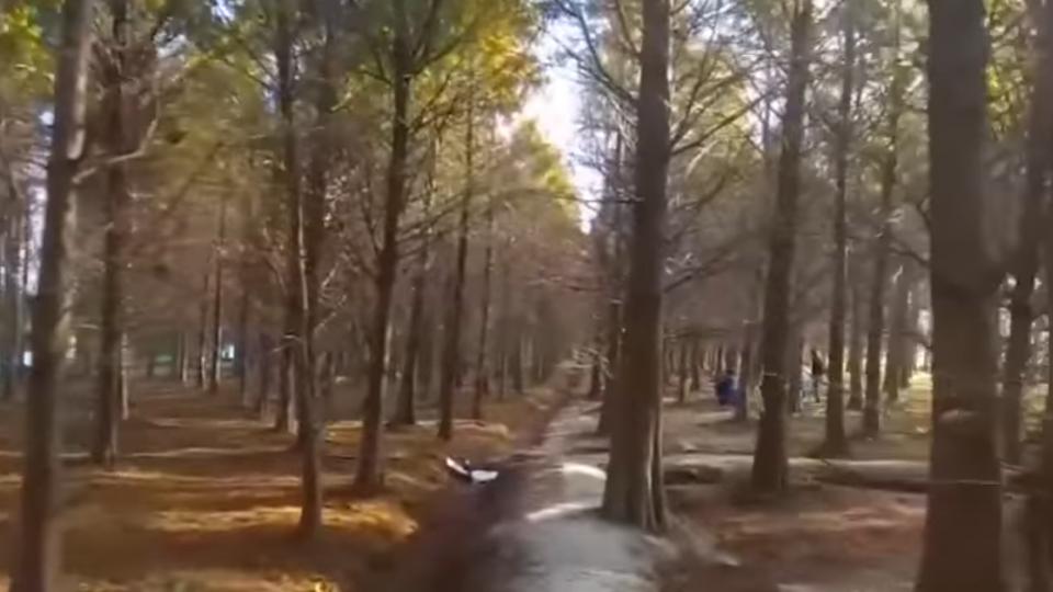 遊客踩踏氣根、亂丟垃圾 落羽松秘境擬封園