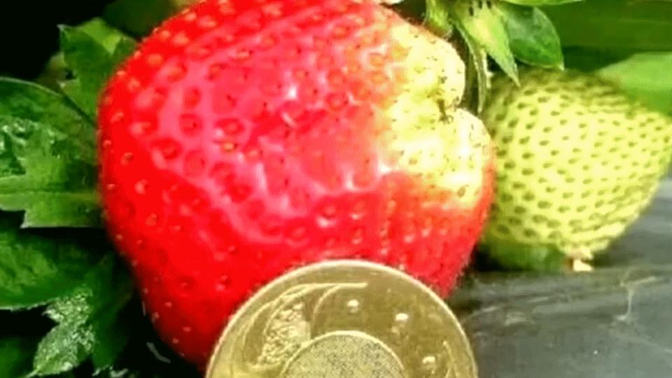 草莓界的LV 酸甜多汁重60公克「一顆要價60元」
