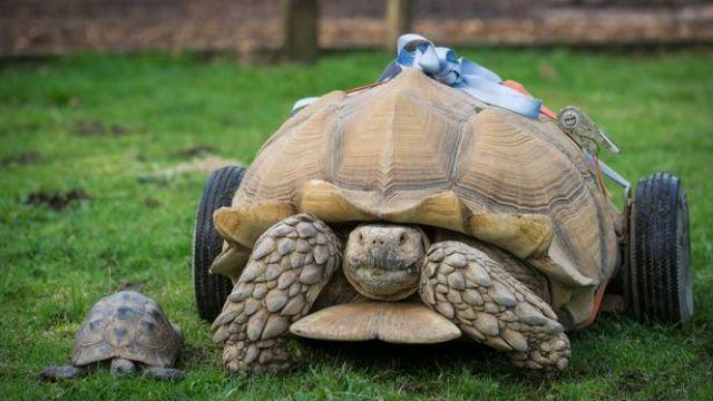 超強「種龜」!60天大戰5嬌妻 結果引發關節炎…
