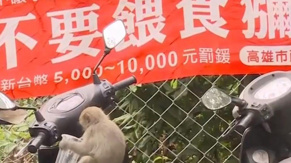 柴山獼猴好兇! 手上飲料、便當掛機車都來搶