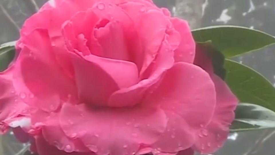 新年走春好去處 竹崎山區滿園茶花盛開