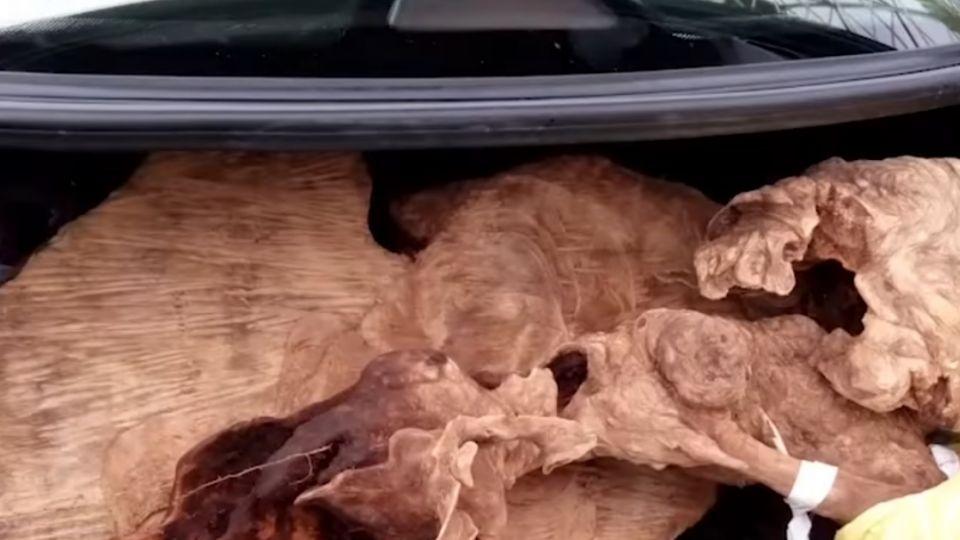 「以為警春節放假」 4男盜伐紅檜木變賣遭活逮