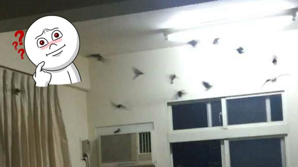 好運到?40幾隻燕子狂衝他家 網友:我賣燕窩,合作嗎?
