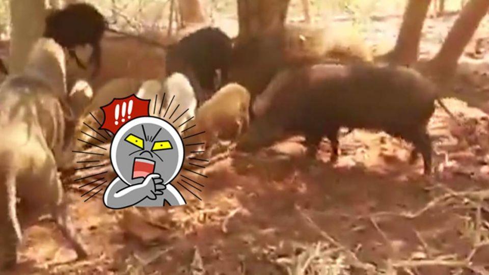 豬群復仇記!大蟒蛇吃豬仔飽肚  下一秒慘遭分屍